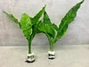 Java Ferns X 2 Bunches Live Microsorum Narrow Leaves
