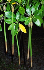 "Red Mangrove Seed Plants 6-12"" x 1  long"