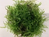 Spiky Moss 5g Live Aquarium Tropical Pond Plant